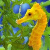 Main seahorse hd wallpapers3