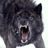 Main black wolf