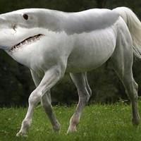 Main sharkhorse