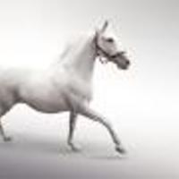 Main white horse