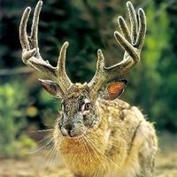 Main jackalope