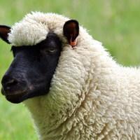 Main sheep
