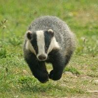 Main badger web version  tim matthews