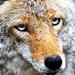 Thumb 51586 wolf 963