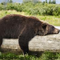 Main lazy bear