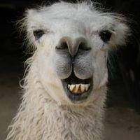 Main llama270977 smiling llama