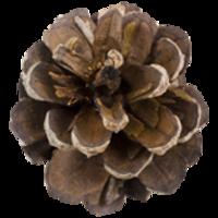 Main pine cone