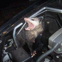 Main opossumcar01