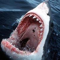 Main shark 1236595c
