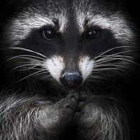 Main raccoon f597f05f 8cf1 3ecb b01a 1891446f0d532222