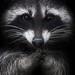 Thumb raccoon f597f05f 8cf1 3ecb b01a 1891446f0d532222
