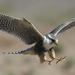 Thumb peregrine falcon talons