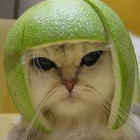 Main lime cat