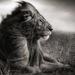 Thumb 35235 1404343125 2 lion before storm ii sitting profile