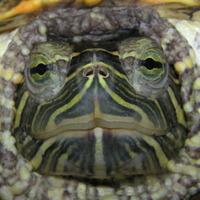 Main turtleface