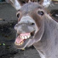 Main laughing donkey 1