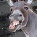 Thumb laughing donkey 1